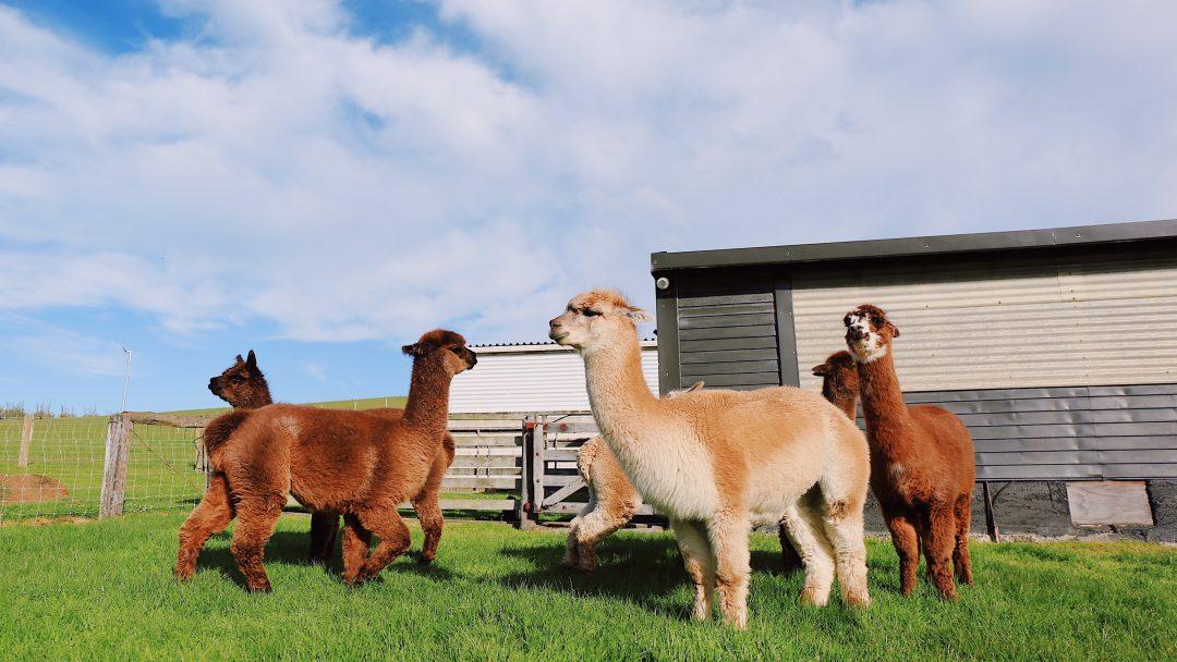 Alpakas auf der Wiese, grüne Wiese, Alpaka Wanderung, braune und weiße Alpakas