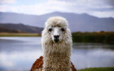 Alpaka Wolle Alpaka Am See Bild