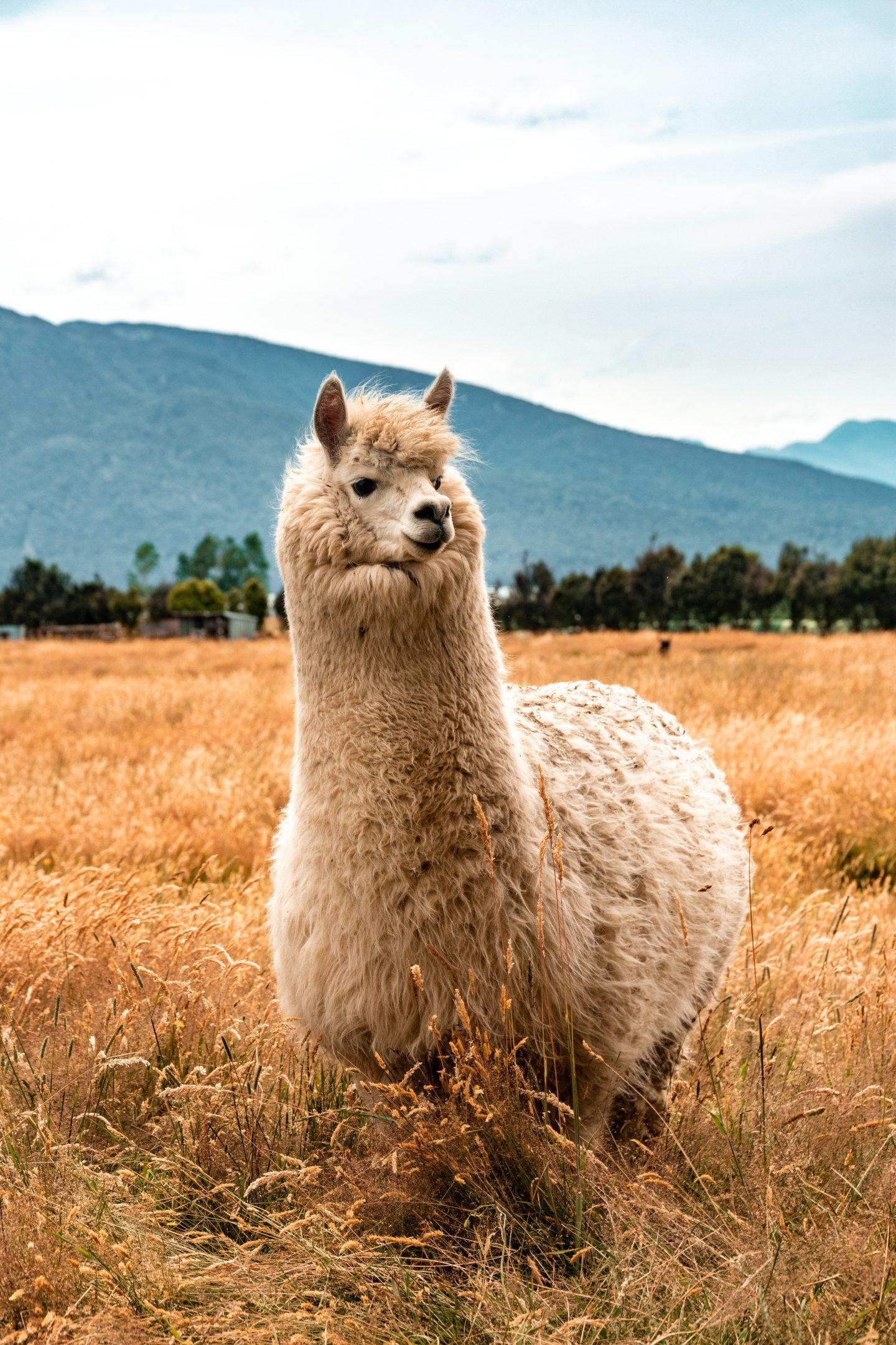 Alpaka im Acker